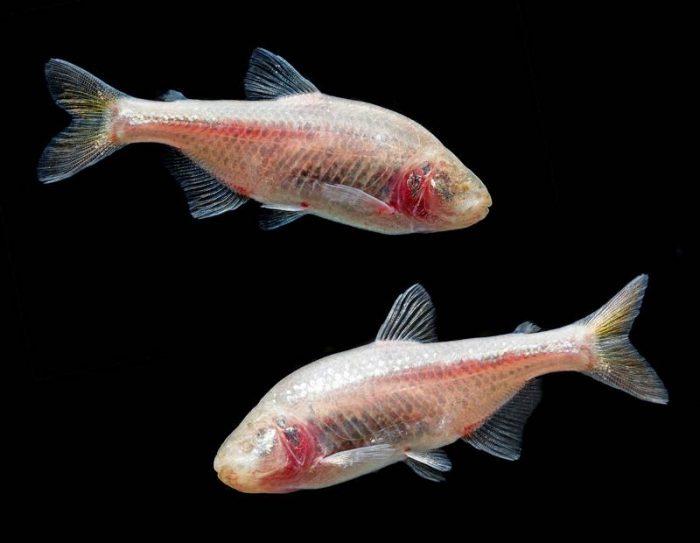 Отличие самки от самца астианакса фото