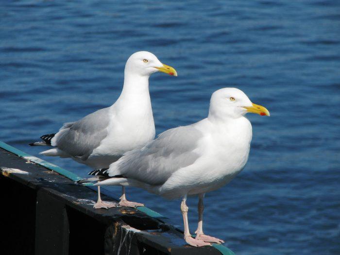 Самец и самка чайки: основные отличия фото