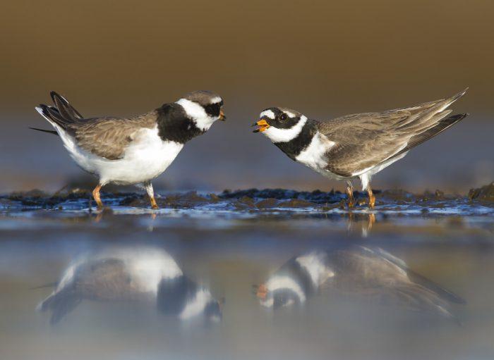 Самец и самка галстучника: основные отличия фото