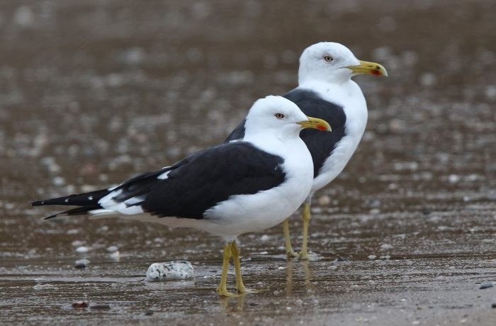 Самец и самка клуши: основные отличия фото