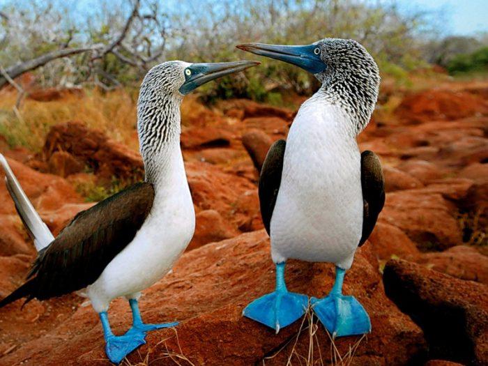 Самец и самка олуши: основные отличия фото