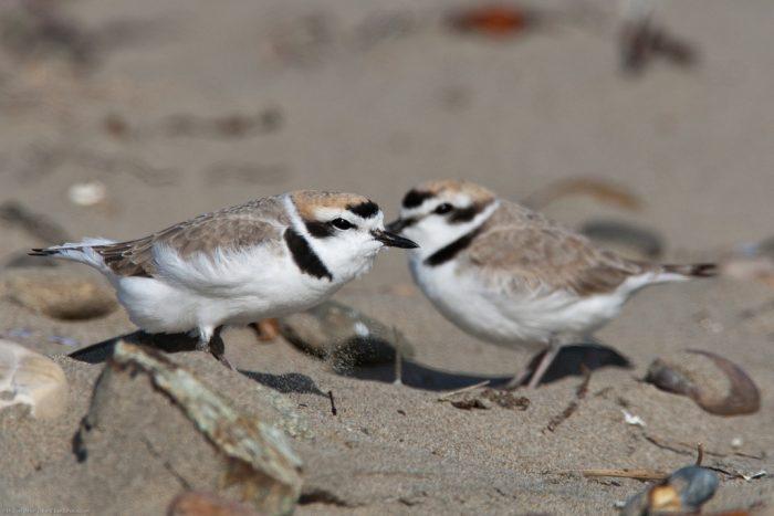 Самец и самка зуйка: основные отличия фото