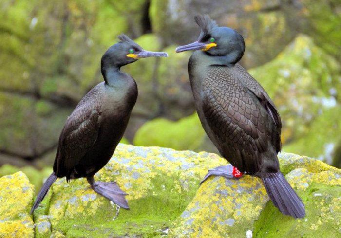 Самец и самка баклана: основные отличия фото