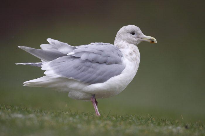 Серокрылая чайка (Larus glaucescens) фото