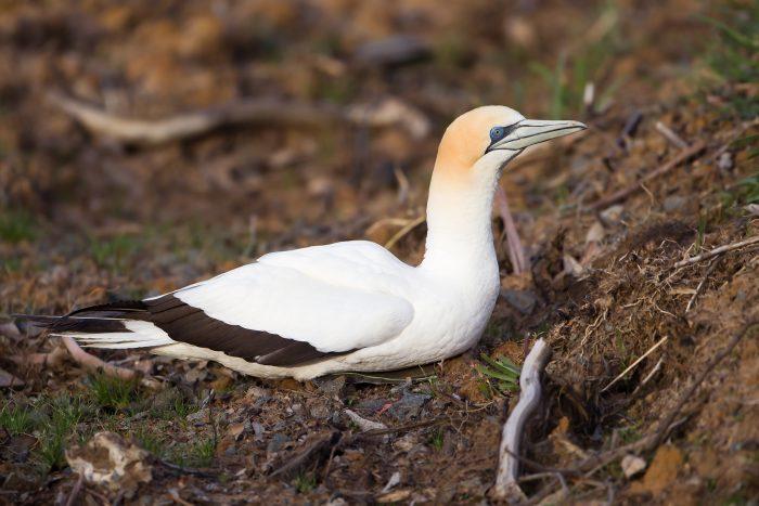 Северная олуша Птицы Калининградской области
