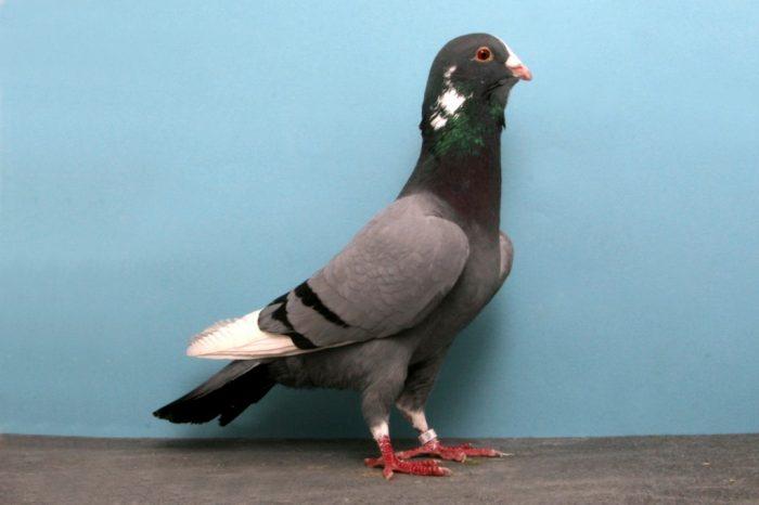 Сирийский складчатый голубь фото