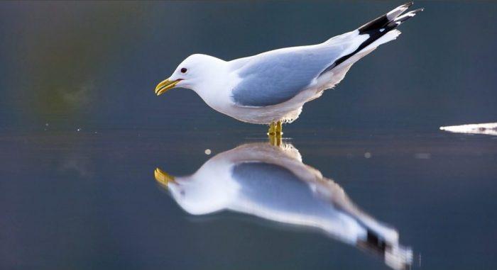 Сизая чайка (Larus canus) фото