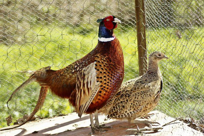 Содержание фазанов в домашних условиях фото