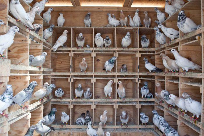 Содержание голубей фото