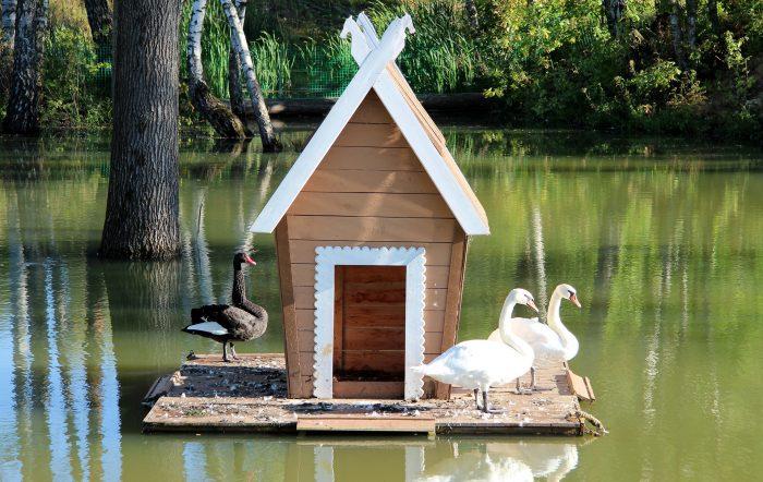 Содержание лебедей в домашних условиях фото