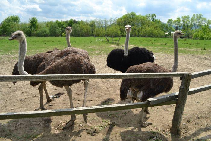 Содержание страуса в домашнем хозяйстве фото