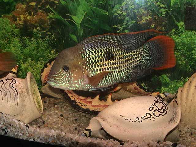 Требования к аквариуму акар фото