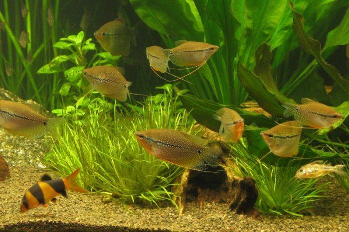 Требования к аквариуму гурами фото