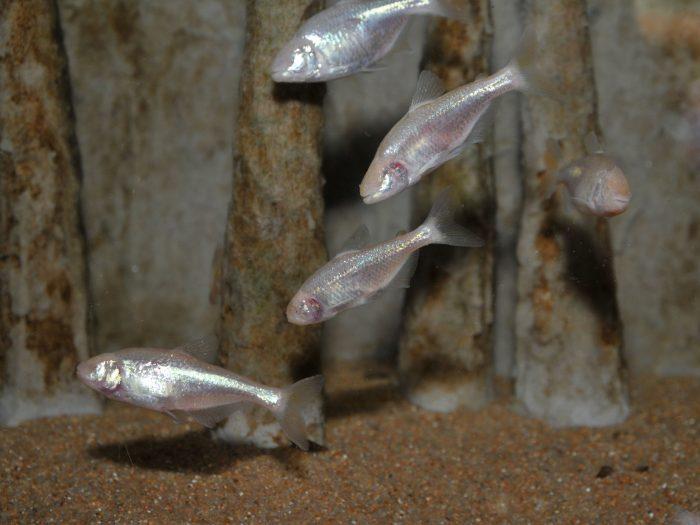 Требования к аквариуму астианакса фото