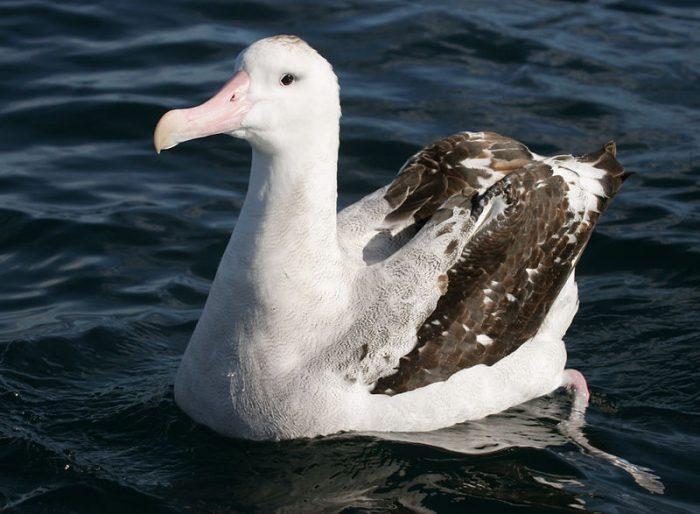 Тристанский альбатрос фото