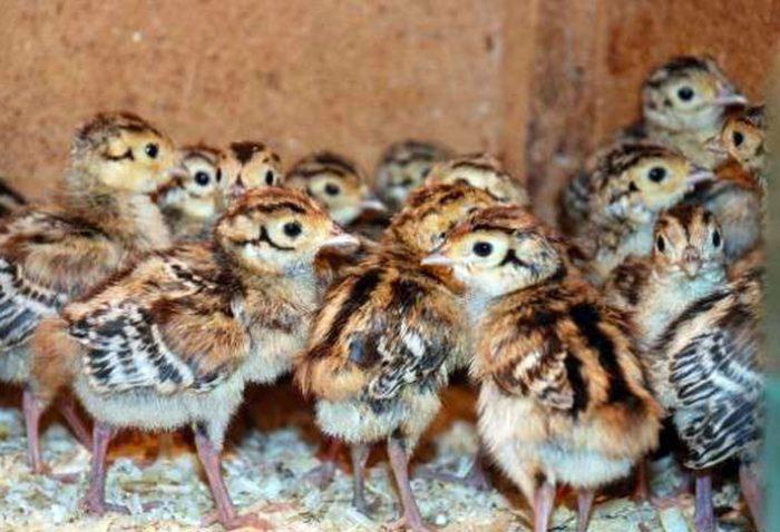 Выращивание птенцов фазанов фото