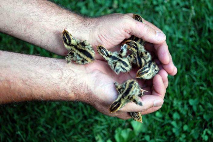 Выращивание птенцов перепела фото