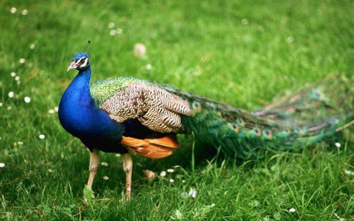 Зелёный павлин фото