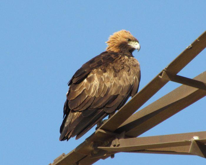 Беркут Aquila chrysaetos homeyeri Severtsov фото