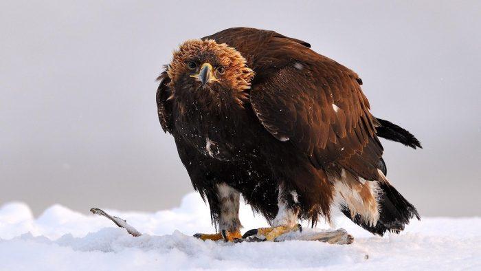 Беркут Aquila chrysaetos kamtschatica Severtsov фото