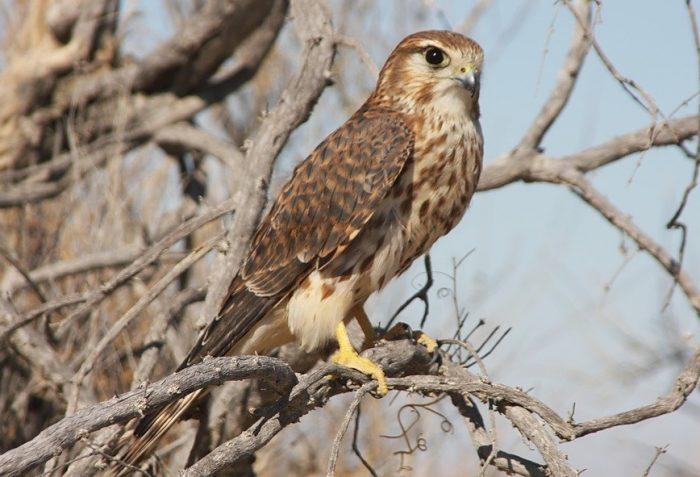 Falco columbarius aeasalon фото