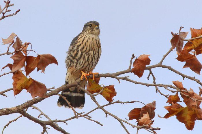 Falco columbarius columbarius фото