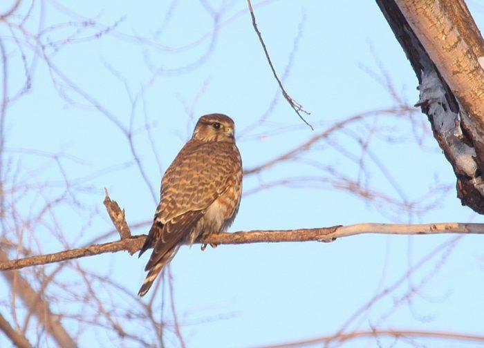 Falco columbarius insignis фото