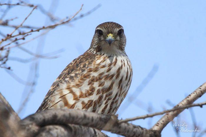 Falco columbarius lymani фото