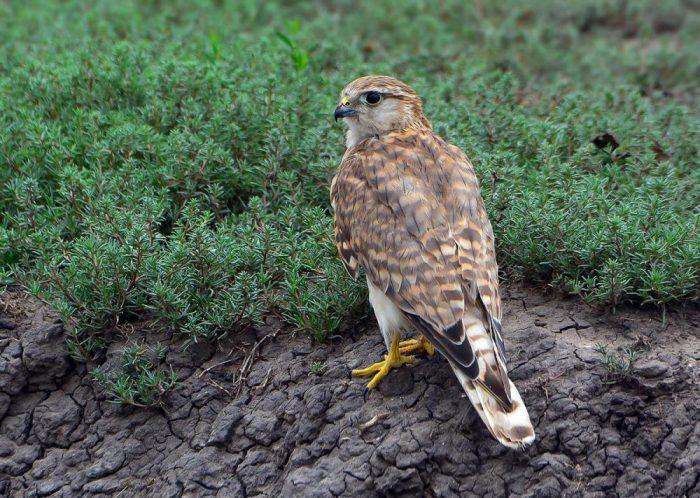 Falco columbarius pacificus фото