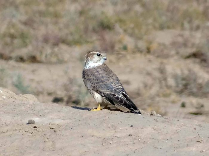 Falco columbarius pallidus фото