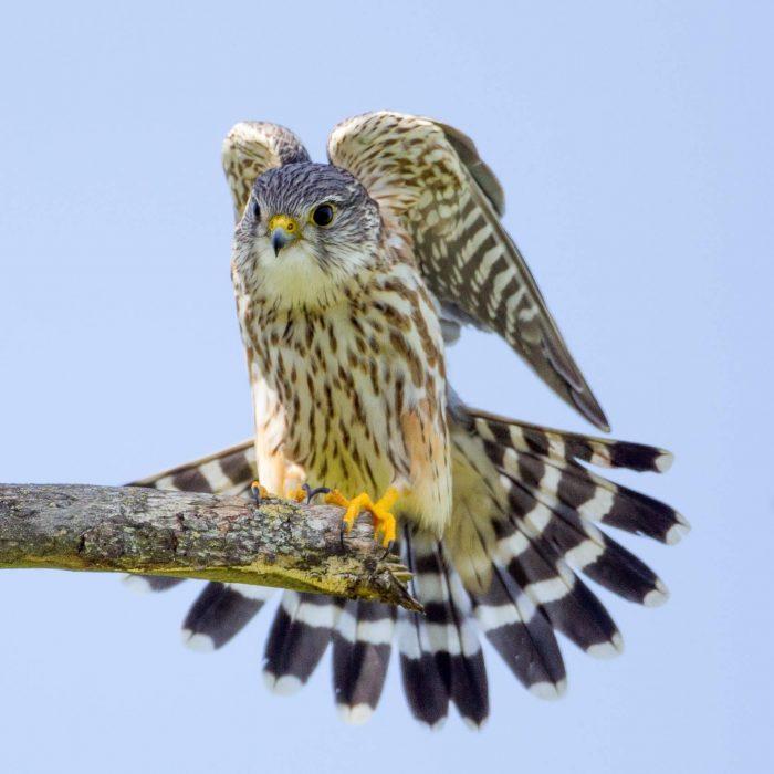 Falco columbarius richardsoni фото
