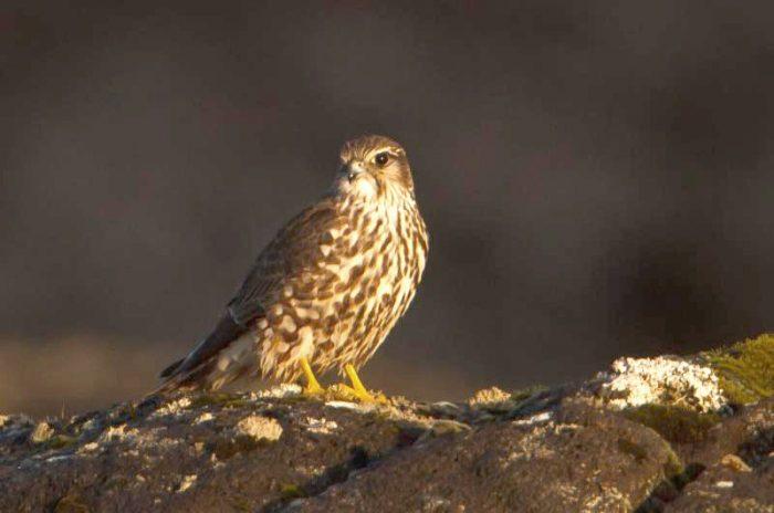 Falco columbarius subaesalon фото
