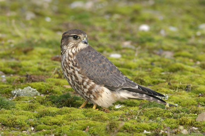 Falco columbarius suckleyi фото