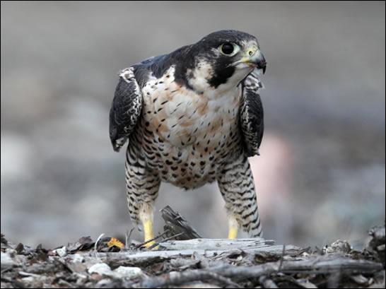 Сапсан Falco peregrinus anatum Bonaparte фото