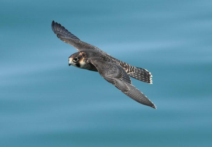 Сапсан Falco peregrinus brookei Sharpe фото