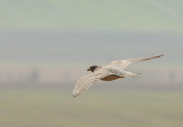 Сапсан Falco peregrinus calidus Latham фото