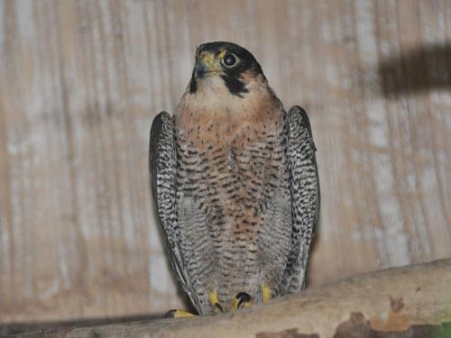Сапсан Falco peregrinus ernesti Sharpe фото