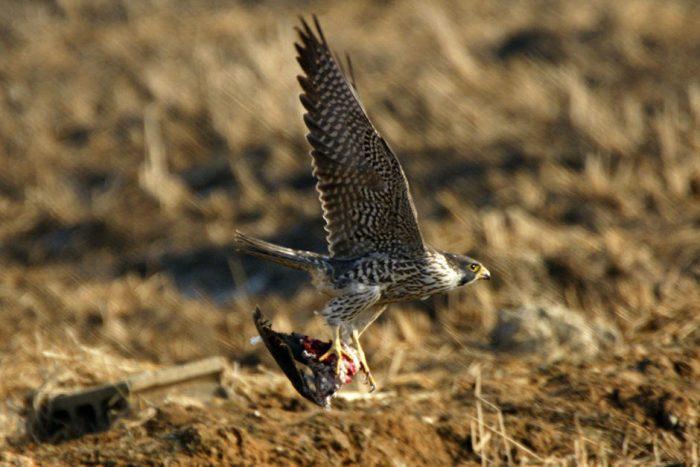 Сапсан Falco peregrinus japonensis Gmelin 1788 фото