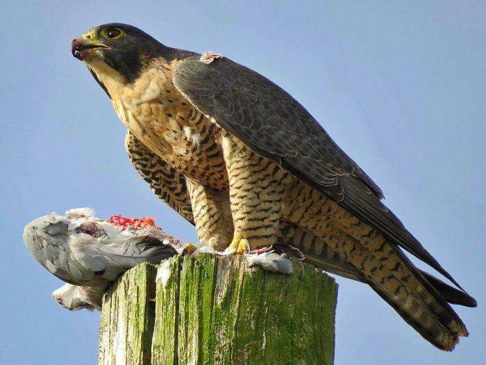 Сапсан Falco peregrinus macropus Swainson фото