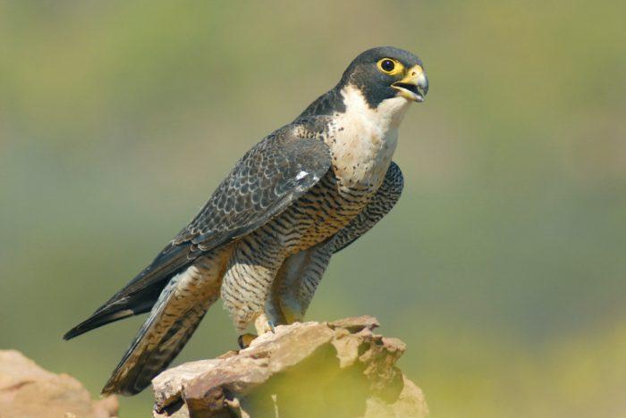 Сапсан Falco peregrinus macropus фото