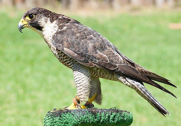 Сапсан Falco peregrinus madens Ripley & Watson фото
