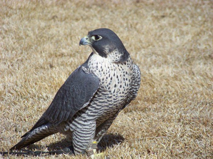 Сапсан Falco peregrinus pealei Ridgway фото