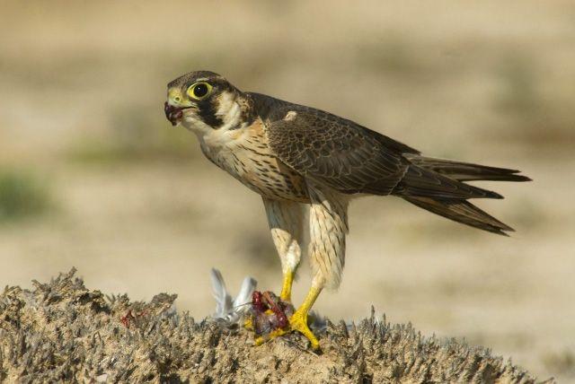 Сапсан Falco peregrinus pelegrinoides Temminck фото
