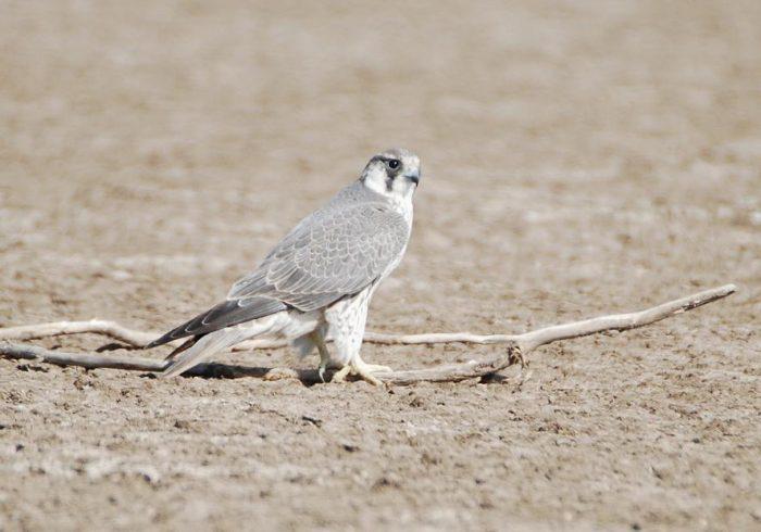Сапсан Falco peregrinus tundrius White фото