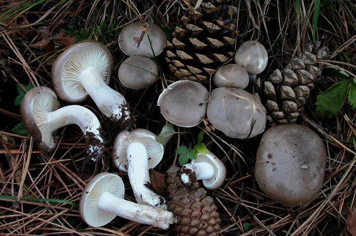 Гигрофор душистый, ароматный, или благоухающий (Hygrophorus agathosmus) фото