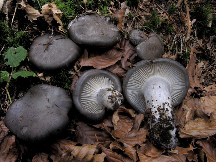 Какие грибы самые большие в мире- фото