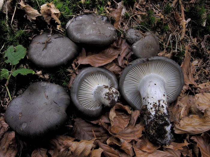 Гигрофор ранний (Hygrophorus marzuolus) фото