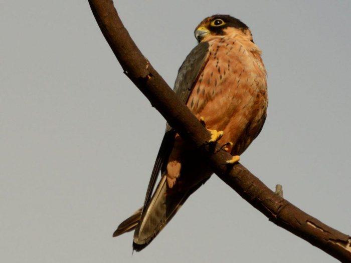 Африканский чеглок (Falco cuvierii) фото