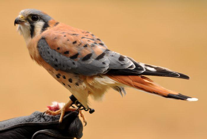 Воробьиная или американская пустельга (Falco sparverius) фото