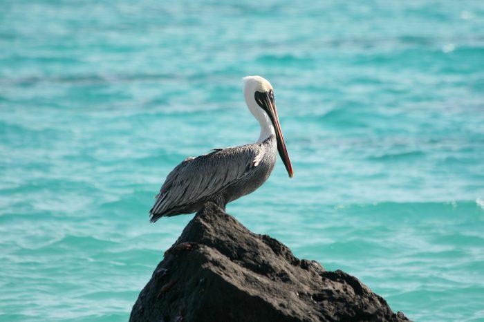 Американский бурый пеликан (Pelecanus occidentalis) фото
